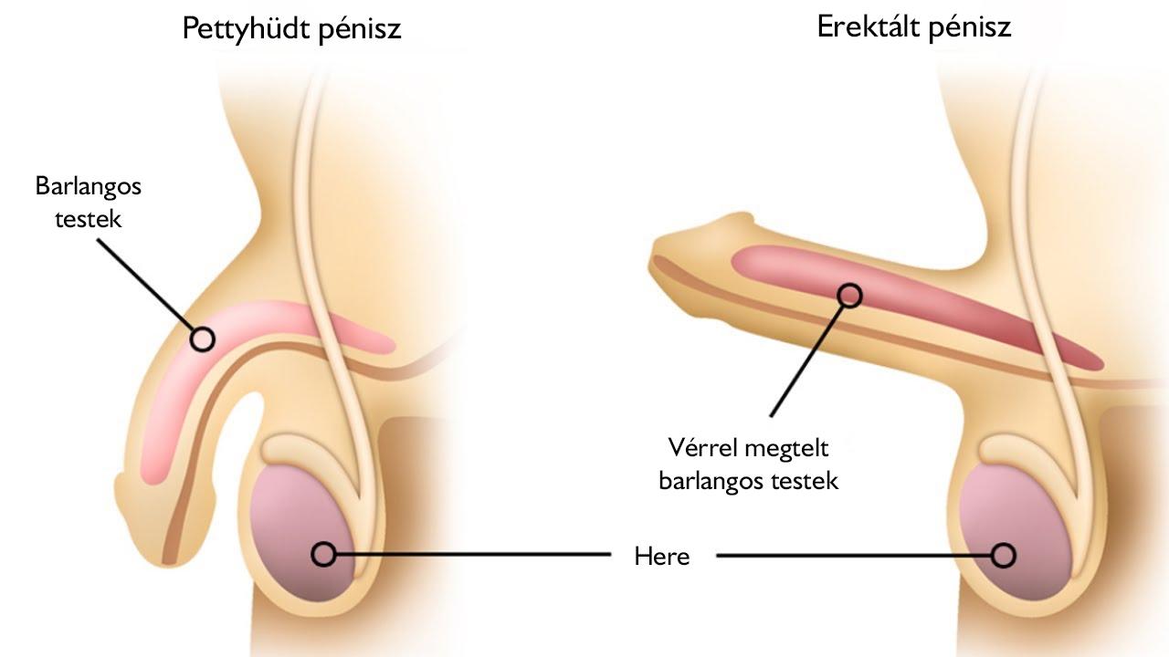 a has alsó része erekció után fáj a férfiaknál
