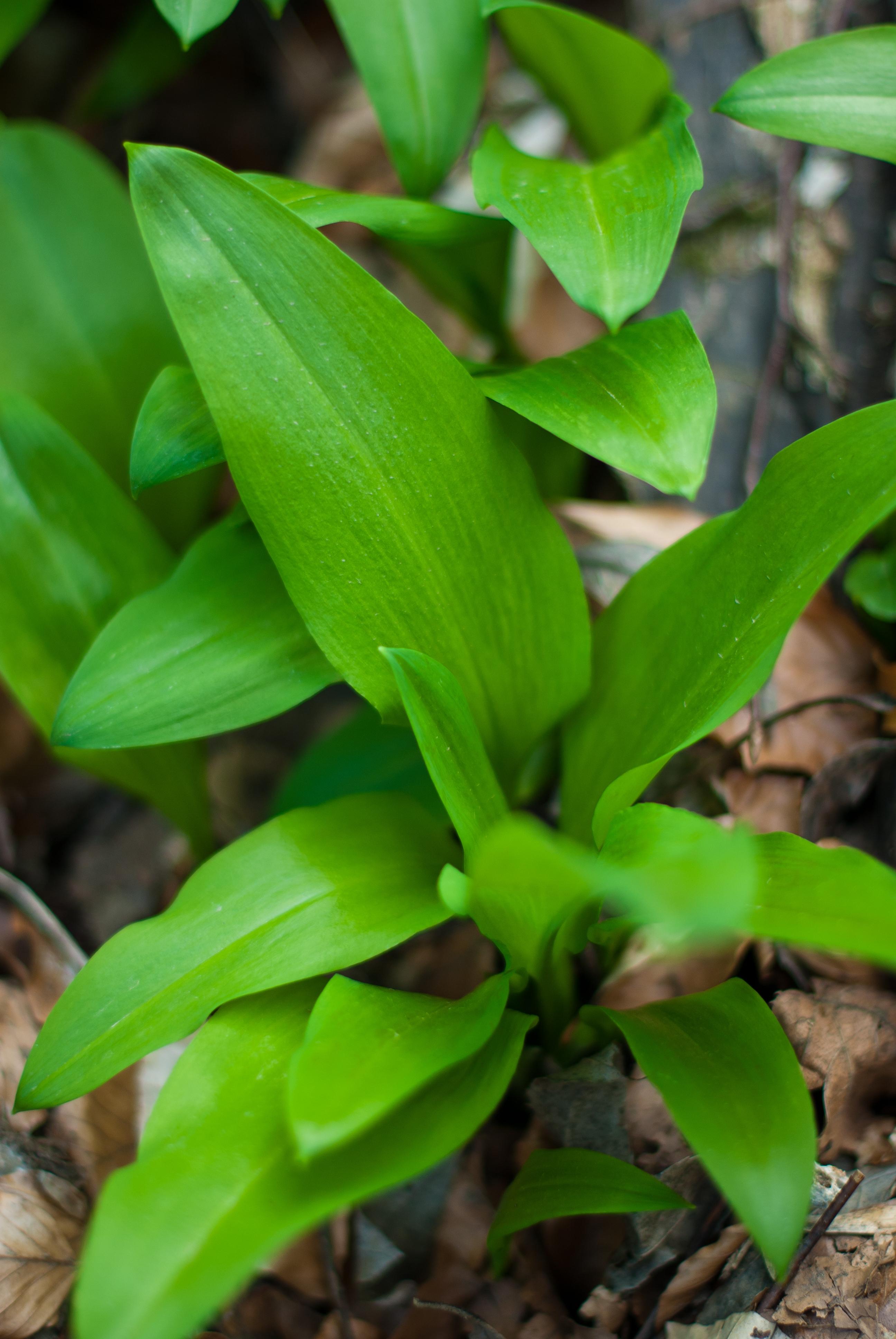 Hasznos és káros vadon termő növények – ne tévesszük őket össze!