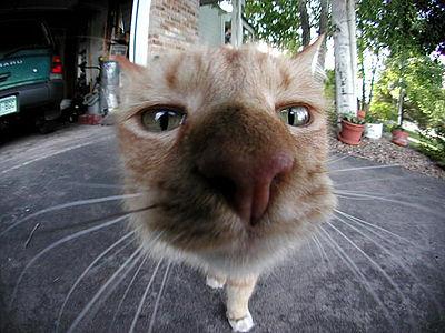 tüskés macska pénisz