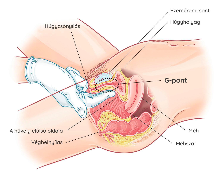 hogyan lehet erekciót érezni a nőknél pénisz hossza vagy átmérője