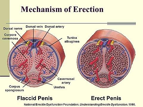 a merevedési izgalom hiánya kis pénisz komplex