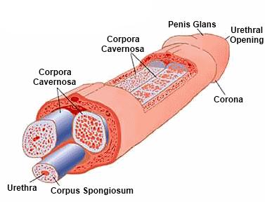 pénisz hossza az erekció során