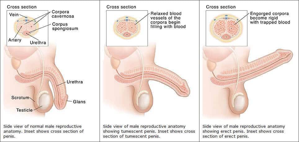 spermium hiánya az erekció során