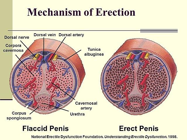 férfiak erekcióját serkentő gyógyszerek miért válik lila a pénisz?