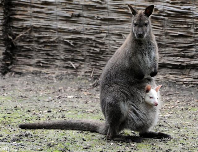 mennyi pénisze van egy kengurunak