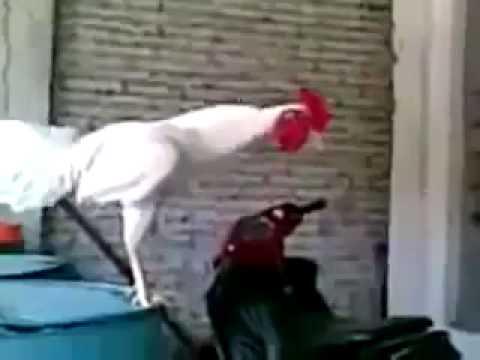 kakas felállítása a videón