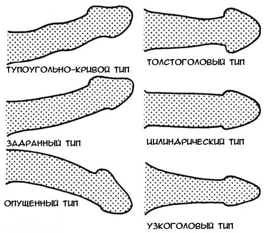 a pénisz alakja és leírása