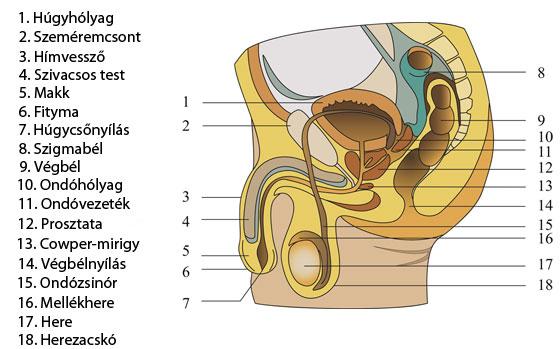 pénisz-erekciós mechanizmus